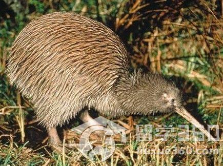 新西兰的奇异鸟