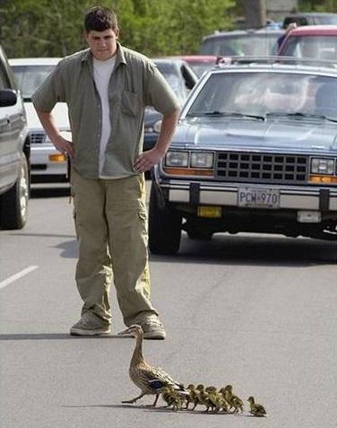 为鸭子让路