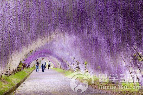 紫藤树手绘图片唯美