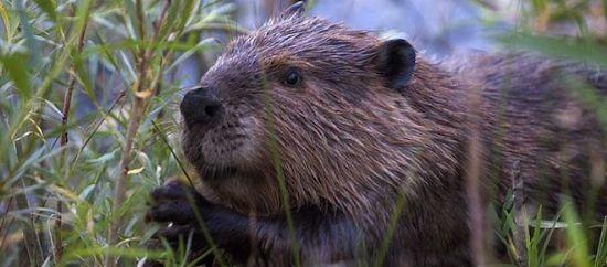 许多加拿大人认为,海狸的勤劳品德和改善环境的智慧