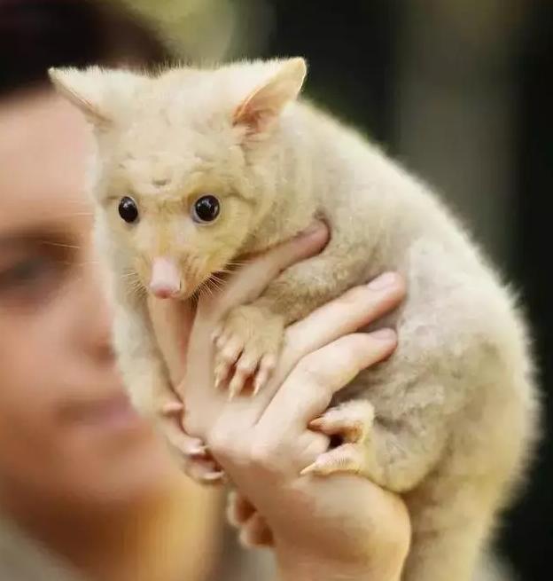 澳大利亚有一群能萌哭你的小动物