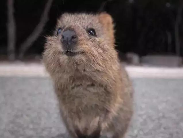 它是最小的袋鼠之一,体高不到60厘米。短尾矮袋鼠是有袋目哺乳动物,看起来像老鼠一样。它们大多生活在澳大利亚西南海岸外的洛特尼斯岛。因其胖嘟嘟的脸庞和甜美的笑容被称为世界上最快乐的动物。   侏儒负鼠